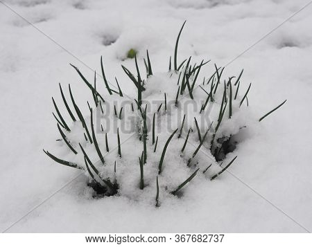 In Spring, Snow Fell On Green Leaves. A Natural Phenomenon. Green Onions Peeps Out From Under The Sn