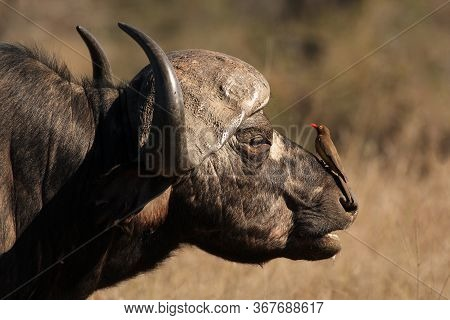 The Head Of African Buffalo Or Cape Buffalo (syncerus Caffer) With Red-billed Oxpecker (buphagus Ery