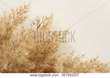Dried Natural Pampas Grass On White Surface. Flat Lay. Background Boho. Minimalism. Low Depth Of Fie