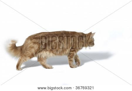 Walking Maine Coon Cat