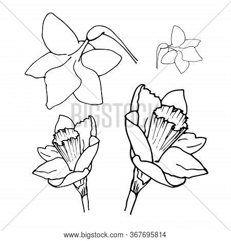 Daffodil Drawing Set Isolated On White Background. Vector Sketch Narcissus Illustration. Narcissus I