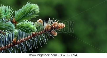 Young Branches Of A Spruce Tree. Blooming Spruce. Spruce In Spring. Close Up. Selective Focus. Copy