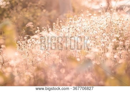 Soft Focus Fairy Tale Wild Grass Field Landscape With Spikes. Rural Scene. Nature Concept. Blurred S