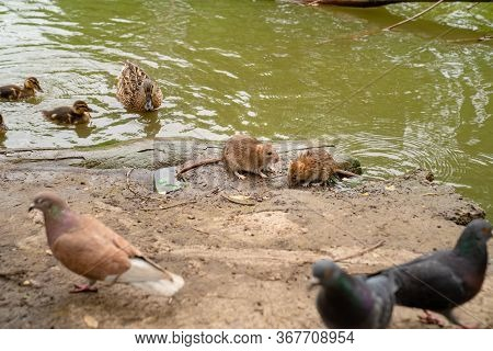Water Spit Or Rat, A Duck With Ducklings And Pigeons On The Banks Of The River. The Presence Of Diff