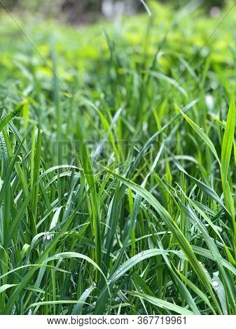 Fresh Grass With Dew Drops. Abstract Natural Backgrounds. Grass Under The Bright Sun. Fresh Grass Wi