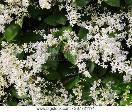 White Small Flowers Of Privet A Flowering Plant In The Genus Ligustrum Used As A Hedge In Many Garde