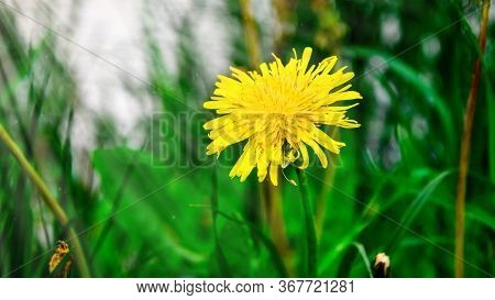 Yellow Summer Flower Dandelion In The Grass, Small Yellow Floret Of Young Dandelion Hiding In Grass