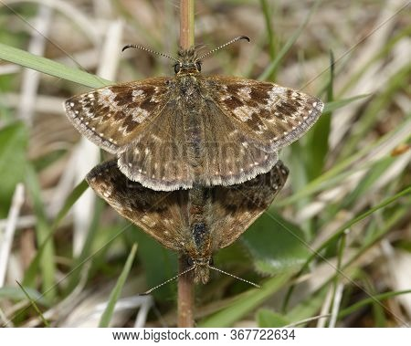 Dingy Skipper - Erynnis Tages  Mating Pair In Grass