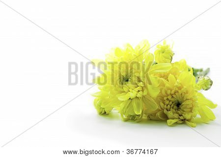 Yellow Chrysanthemums Flower Isolate On White Background