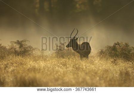 Red Deer (cervus Elaphus) Stag On A Misty Morning At Sunrise, Uk.