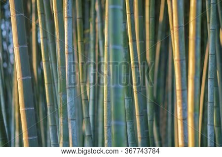 Bamboo Branch In Bamboo Forest, Beautiful Natural Bamboo Background, Selective Focus
