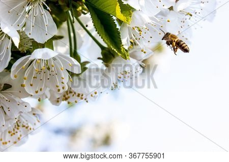 Bee Pollinates White Flowers Of Cherry On Flowering Tree In Spring, Colorful Background With Image O