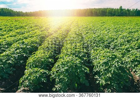 Green Field Of Potato Crops In A Row At Sunset In Finland.