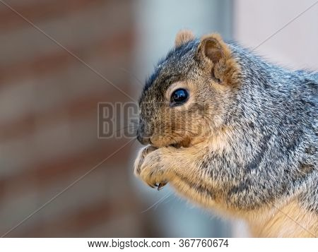 Squirrel Holding Its Hands To Its Mouth With One Eye Looking At You Up Close With A Red Brick Backgr