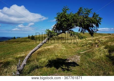 Crippled Tree Spotted On Mountain Pasture In The Alsace Region, France