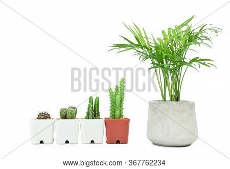 Unequal Height Potted Cactus And Green Howea Palm-tree Isolated On White Background. Growth Steps Co