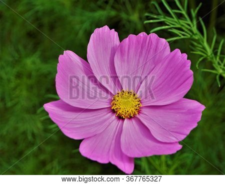 Beautiful Pink Blossom Of The Garden Cosmos Cosmos Bipinnatus With Yellow Florets