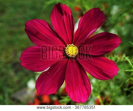 Extraordinary Blossom Of A Cosmos Bipinnatus Flower With Yellow Florets