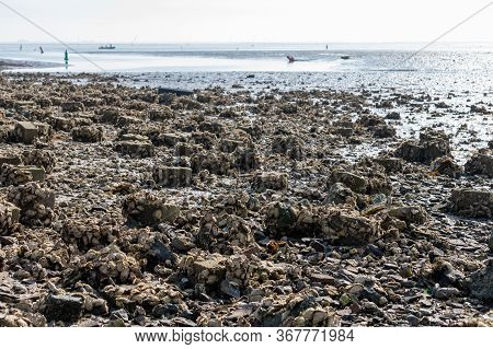 Harvesting Of Wild Oysters Shellfish On Sea Shore During Low Tide In Zeeland, Netherlands