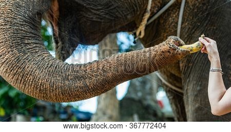 Woman Traveler Feeds Elephant In The Zoo In Thailand National Park. Big Happy Elephant Takes Tasty F