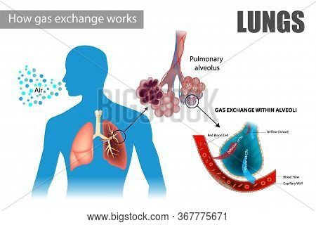 How Gas Exchange Works. The Pulmonary Alveoli Enable Respiratory Gas Exchange