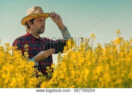 Oilseed Rape Farmer Using Tablet Computer In Blooming Field, Smart Farming Concept.