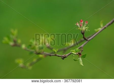 Blooming Apple Tree Flowers In A Green Spring Garden, The Awakening Of Nature