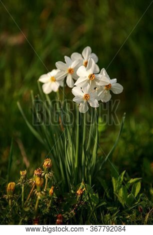 Blooming White Flowers In The Garden On A Background Of Green Grass In The Meadow