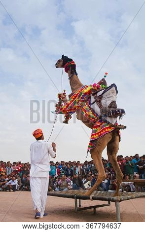 Bikaner, India - January 12, 2019: Young Dromedary Camel Jumping Up During Camel Festival In Rajasth
