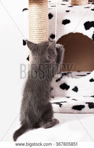 A Funny Gray Kitten Plays With A Fur Ball On A Rope