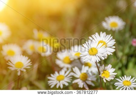 Bright Spring Background With White Daisies And Sunbeams. Chamomiles In A Meadow.