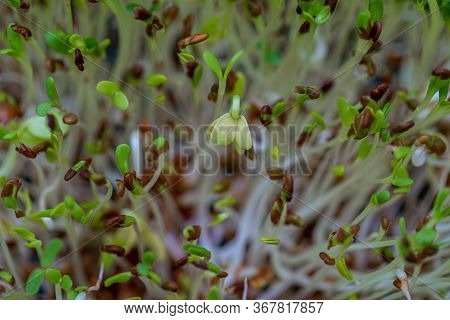 Fresh Sprouts Of Germinated Seeds Closeup. Seeds Of Red Cabbage, Radish, Lettuce, Alfalfa For Germin