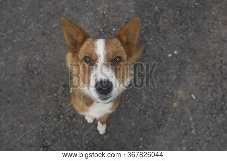 Brown And White Mutt Looking Up A Bit Wary, Seating In The Asphalt Road