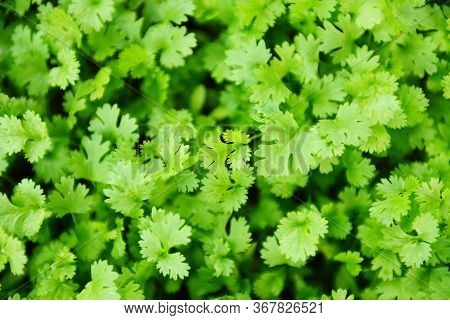 Coriander Plant Leaf Growing In The Graden Nature Background / Green Coriander Leaves Vegetable For