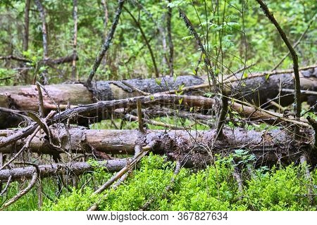 A Fallen Dry Tree In The Taiga Is A Source Of Increased Fire Danger During The Dry Season. Close-up