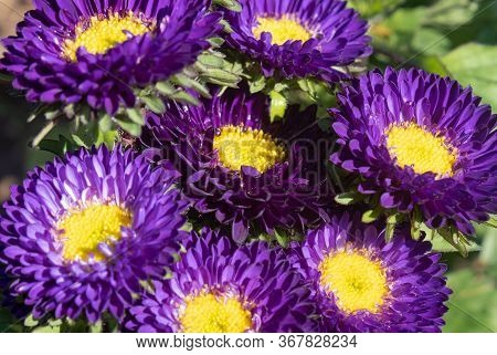Purple Or Violet Callistephus Chinensis Flower Or Aster Flower In Garden With Natural Light On Green