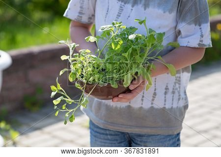 Kindergarten. Nature, Ecology. Gardening At Home. The Boy Holds Green Seedlings Of Petunia In His Ha