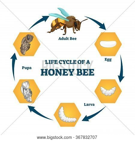 Life Cycle Of A Honey Bee Vector Illustration. Labeled Educational Stages Scheme. Transformation Pro