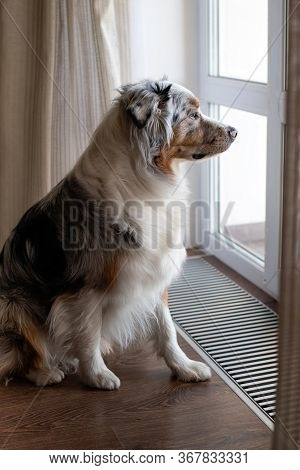 A Sad Lonely Dog Sits By The Window And Waits For Its Owner. Australian Shepherd Blue Merle. Obedien