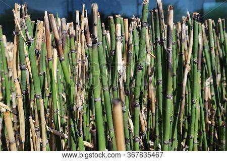 Short Bamboo Grass Are Shot At Close Range.