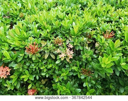 Ixora Chinensis Bush Tree Texture Nature Leaves Background