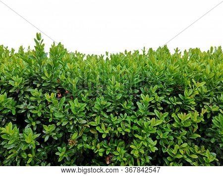 Isolated Shrub Bush Ixora Chinensis Green Outline Tree On White Background