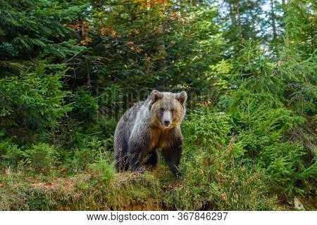 Big Brown Bear In The Forest. Dangerous Animal In Natural Habitat. Wildlife Scene