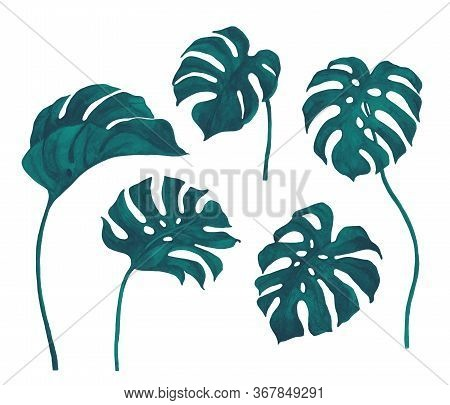 Fresh Turquoise Green Monstera Leaves Set Isolated On White Background