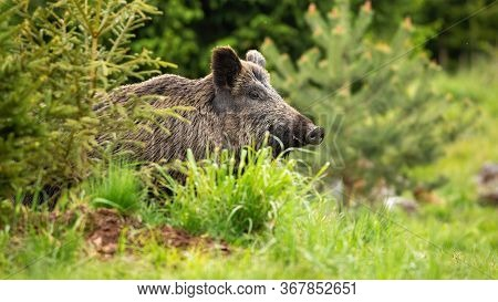 Massive Wild Boar, Sus Scrofa, Showing Up On The Green Forest Clearing