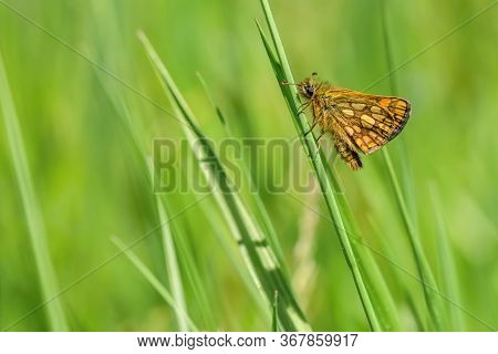 Close Up Image Of A Small Woodland Butterfly, The Chequered Skipper, With Yellow Spots On Orange And