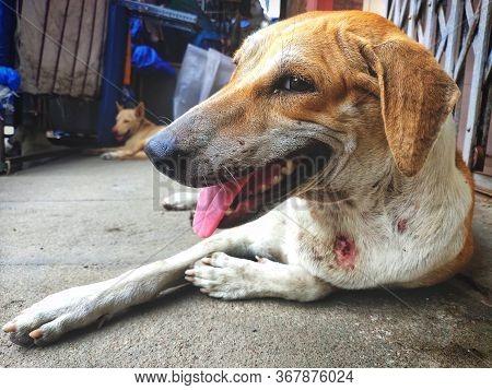 Injured Stray Dog / Street Dog Relaxing On Main Market / Bazaar In Chennai, Tamilnadu, India. Stray