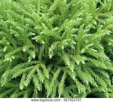 Globosa Nana Cryptomeria evergreen conifer shrub