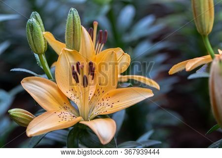 Asiatic Lily Or Asiatic Lilies Flower. Orange Flower In Flower Garden At Sunny Summer Or Spring Day.