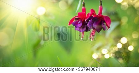 Fuchsia flowers blooming in summer garden. Beautiful purple with violet color Fuchsia close-up on blurred green backdrop. Gardening. Summer flower closeup.